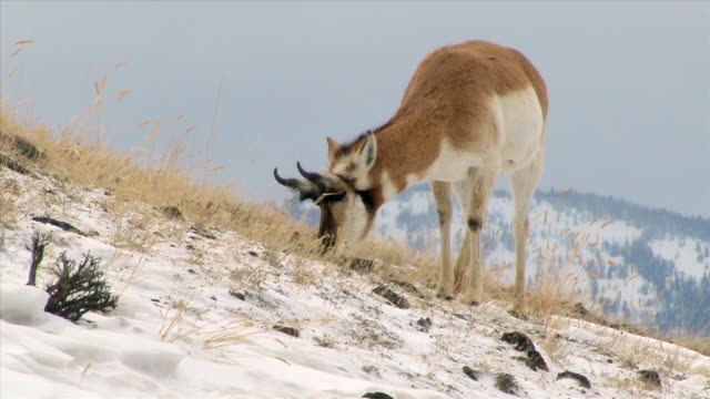 pronghorn, ram, on snowy hillside, yellowstone national park in winter - pronghorn stock videos & royalty-free footage