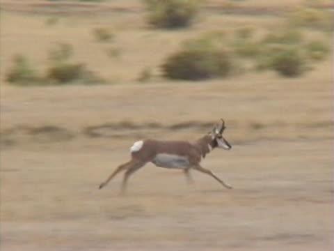 ws ts pan pronghorn running in desert / usa  - プロングホーン点の映像素材/bロール