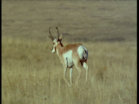 pronghorn runs over grassland, montana - プロングホーン点の映像素材/bロール