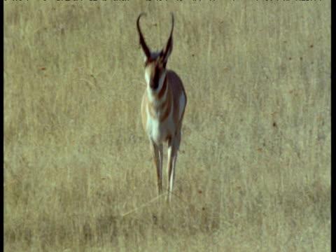 pronghorn runs towards camera over grassland, montana - プロングホーン点の映像素材/bロール