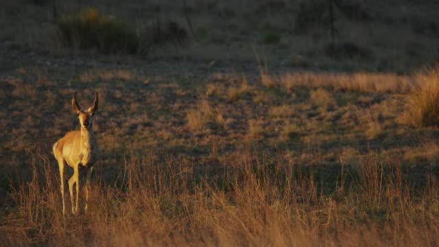 pronghorn standing in grass at sunset - プロングホーン点の映像素材/bロール