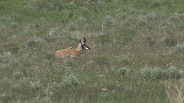 Pronghorn Standing Up