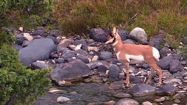 Pronghorn stands by river, looking around, Yellowstone National Park, Wyoming