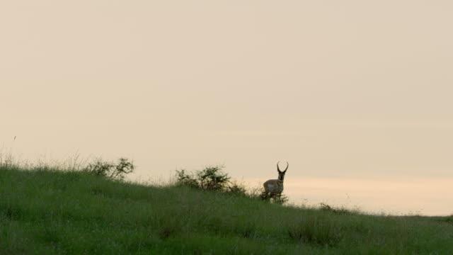 pronghorn walking in grass at dusk - プロングホーン点の映像素材/bロール
