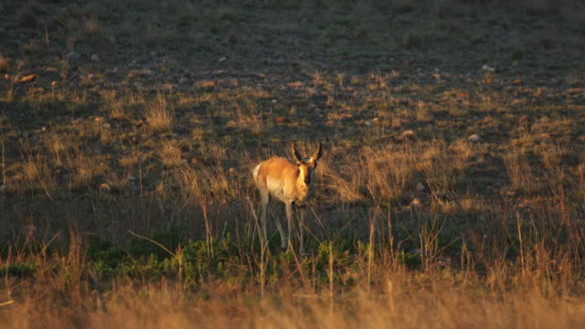 pronghorn walking in grass at sunset - プロングホーン点の映像素材/bロール