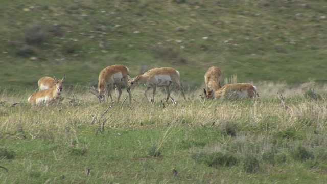 pronghorns eating - pronghorn stock videos & royalty-free footage