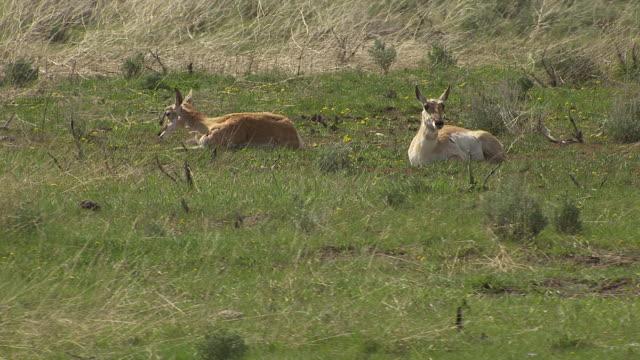 pronghorns in grass - プロングホーン点の映像素材/bロール