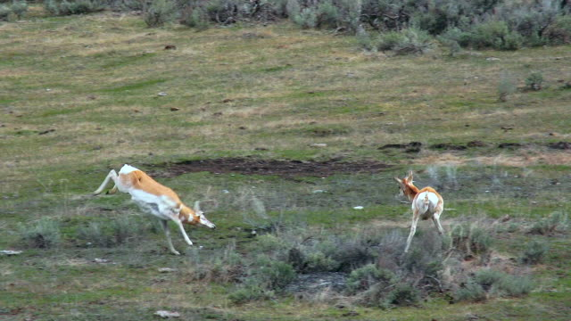 pronghorns in yellowstone national park - antilope stock-videos und b-roll-filmmaterial