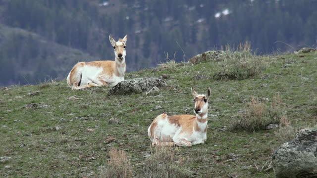 pronghorns in yellowstone national park - プロングホーン点の映像素材/bロール