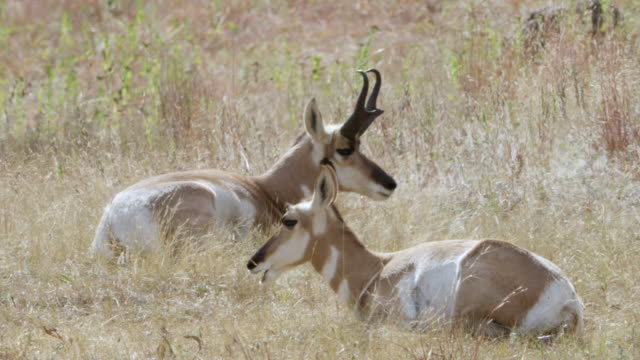 MS Pronghorns resting and chewing grass / Wind Cave National Park, South Dakota, United States