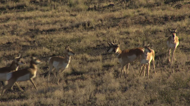 MS AERIAL Pronghorns standing in Yavapai County / Arizona, United States