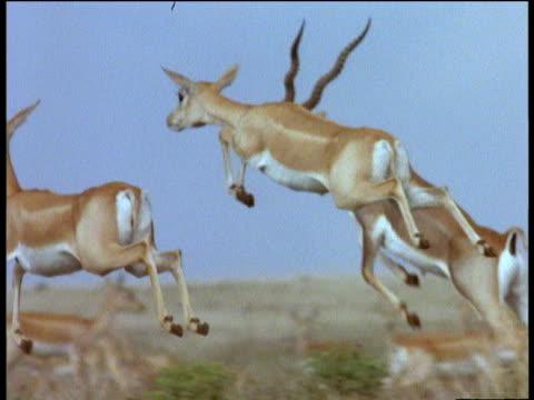 Pronking blackbuck females run and leap on Indian grassland