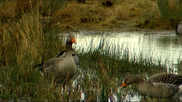 proposed severn river tidal scheme on shortlist england int reporter looking through binoculars inside birdwatching hut birds flying over wetlands... - river severn stock videos & royalty-free footage
