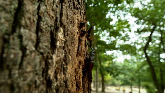 vídeos de stock, filmes e b-roll de prosopocoilus inclinatus and vespa ducalis and other insects on a tree at korea national arboretum (gwangneung forest) / pocheon-si, gyeonggi-do, south korea - posição de combate