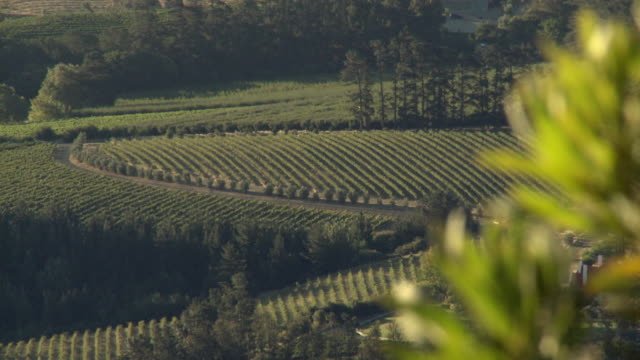 ws r/f protea plant and vineyard, franschhoek, western cape, south africa - franschhoek stock videos and b-roll footage