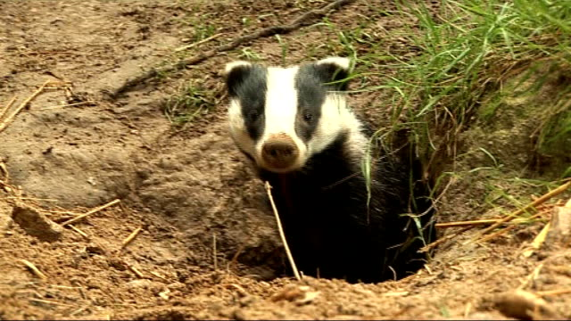 protest in westminster against government's badger cull plans lib badger coming out of hole in wildlife park badger looking out of hole various of... - foraging stock videos and b-roll footage