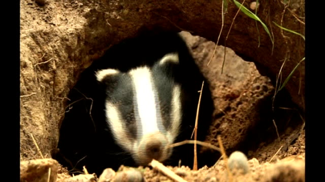 protesters gather as badger cull due to begin r19071118 / 1972011 day badger looking out of hole in wildlife park enclosure - enclosure stock videos & royalty-free footage