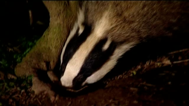 protesters gather as badger cull due to begin; r27020806 / 27.2.2008 location unknown: night various of badger foraging in undergrowth t27091233 / tx... - foraging stock videos & royalty-free footage
