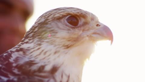 vídeos de stock, filmes e b-roll de proud arab wearing dishdasha with his trained falcon - qatar