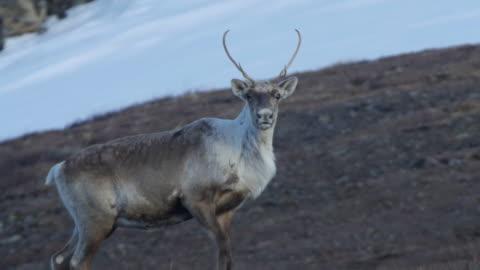 vídeos de stock e filmes b-roll de a proud caribou on top of a mountain - ártico