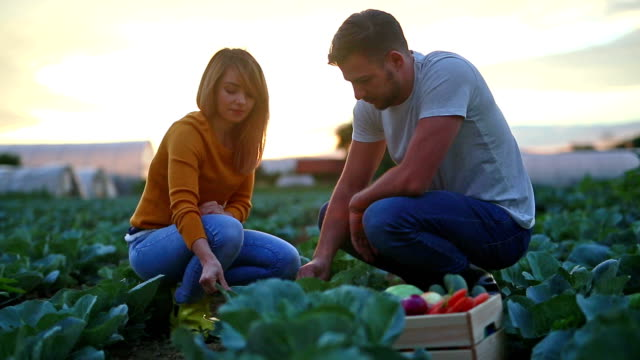 vídeos y material grabado en eventos de stock de orgullosos de nuestro campo de repollo - vegetal con hoja