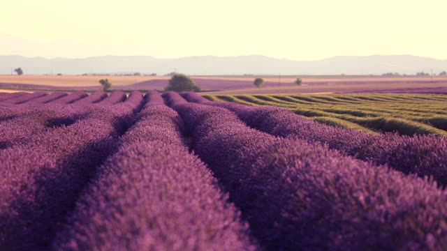 provence, valensole, lavender field - provence alpes cote d'azur stock videos & royalty-free footage
