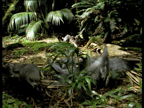 Providence petrels fight and squabble on forest floor, Lord Howe Island.
