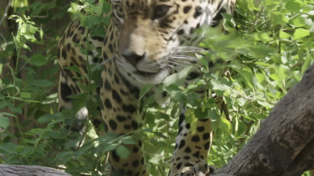 prowling jaguar - big cat stock videos & royalty-free footage