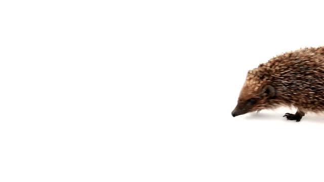 prudent hedgehog - hedgehog stock videos & royalty-free footage