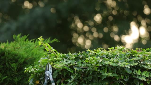 stockvideo's en b-roll-footage met pruning an ivy with pruning shears. - belgië