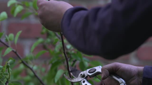 vidéos et rushes de pruning fruit tree - arbre à feuilles caduques