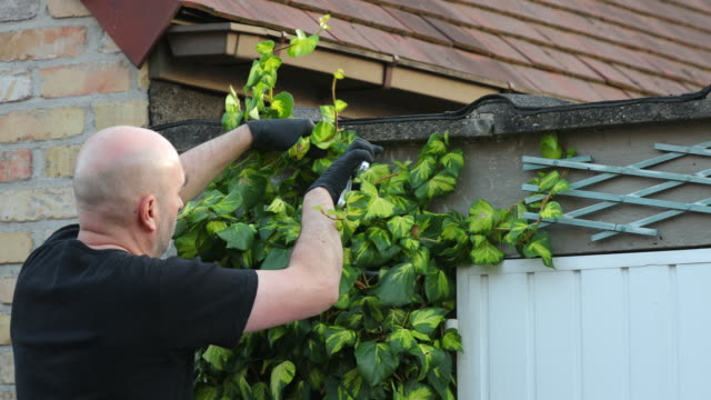 pruning ivy - pruning shears stock videos and b-roll footage
