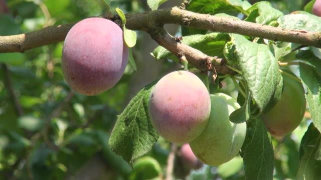 ms prunus domestica or plum hanging on branch / serrig, rhineland-palatinate, germany - plum stock videos & royalty-free footage