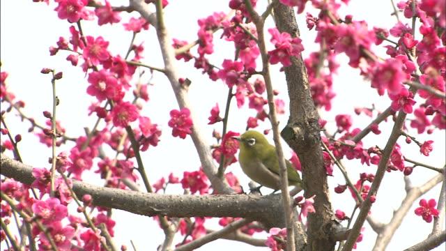 Prunus flowers and Uguisu, bush-warbler