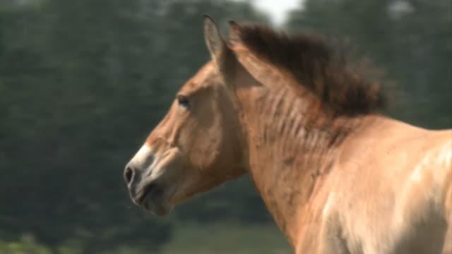 przewalski asiatisk vildhäst - przewalskihäst bildbanksvideor och videomaterial från bakom kulisserna