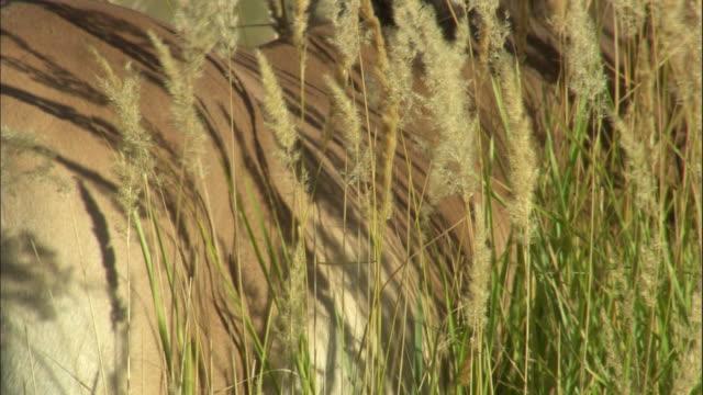 przewalski's horse amongst tall grass, kalamaili nature reserve, xinjiang, china - przewalskihäst bildbanksvideor och videomaterial från bakom kulisserna