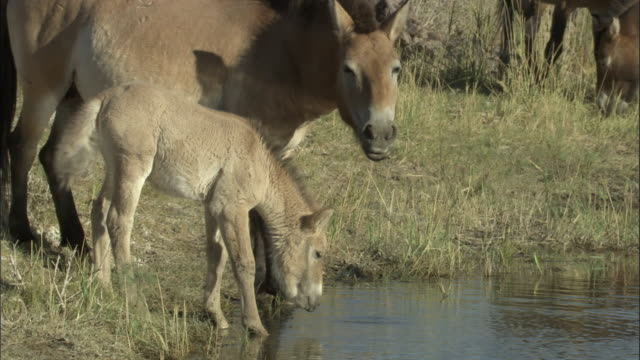 przewalski's horse and foal at edge of water, kalamaili nature reserve, xinjiang, china - przewalskipferd stock-videos und b-roll-filmmaterial
