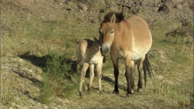 przewalski's horse and foal, kalamaili nature reserve, xinjiang, china - przewalski stock videos & royalty-free footage