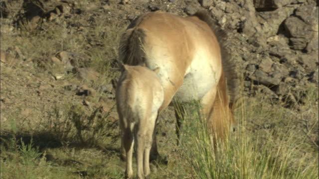 przewalski's horse and foal, kalamaili nature reserve, xinjiang, china - przewalskihäst bildbanksvideor och videomaterial från bakom kulisserna