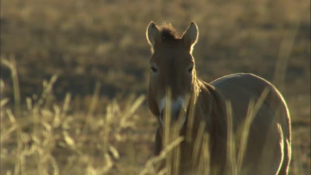przewalski's horse at sunrise, kalamaili nature reserve, xinjiang, china - przewalskihäst bildbanksvideor och videomaterial från bakom kulisserna