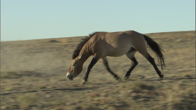 przewalski's horse chases another away, kalamaili nature reserve, xinjiang, china - przewalskipferd stock-videos und b-roll-filmmaterial