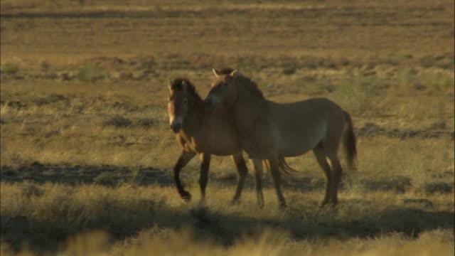 przewalski's horse courtship behaviour, kalamaili nature reserve, xinjiang, china - przewalskihäst bildbanksvideor och videomaterial från bakom kulisserna