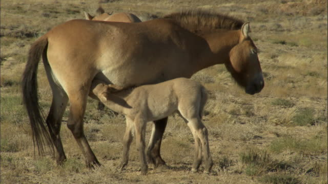 przewalski's horse foal suckles from mother, kalamaili nature reserve, xinjiang, china - przewalskipferd stock-videos und b-roll-filmmaterial