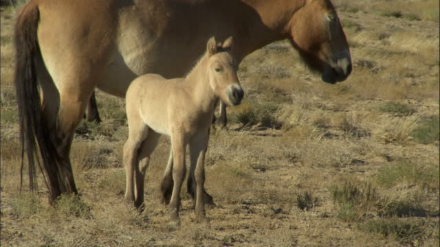 przewalski's horse foal with mother, kalamaili nature reserve, xinjiang, china - przewalskipferd stock-videos und b-roll-filmmaterial