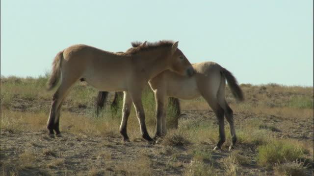 przewalski's horse herd nuzzle and graze, kalamaili nature reserve, xinjiang, china - przewalskihäst bildbanksvideor och videomaterial från bakom kulisserna