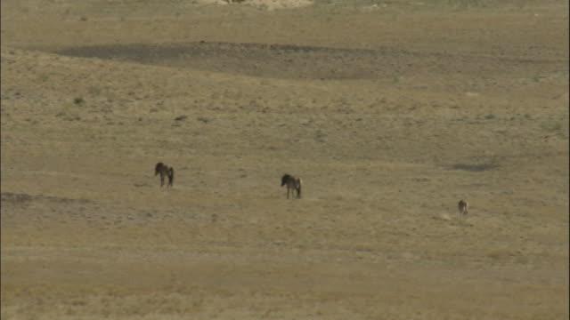 ws przewalski's horse herd walk across steppes, kalamaili nature reserve, xinjiang, china - przewalskihäst bildbanksvideor och videomaterial från bakom kulisserna