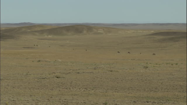 przewalski's horse herd walk across steppes, kalamaili nature reserve, xinjiang, china - przewalskihäst bildbanksvideor och videomaterial från bakom kulisserna