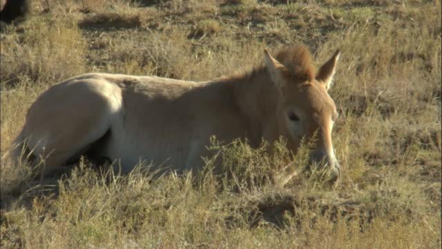przewalski's horse lying in dust, kalamaili nature reserve, xinjiang, china - przewalskihäst bildbanksvideor och videomaterial från bakom kulisserna