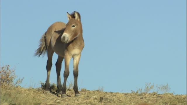 przewalski's horse on crest of hill, kalamaili nature reserve, xinjiang, china - przewalskihäst bildbanksvideor och videomaterial från bakom kulisserna