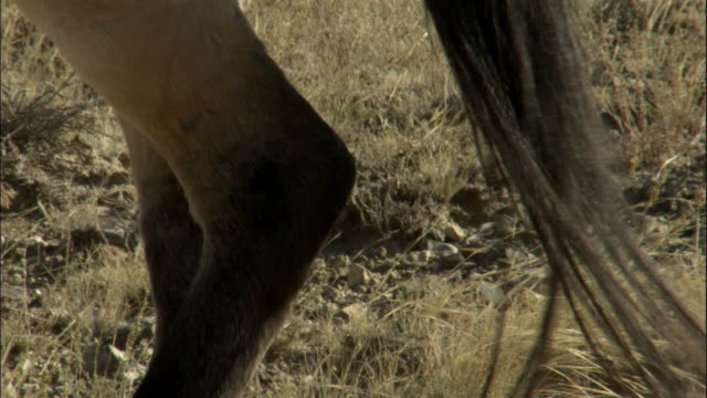 przewalski's horse swishes tail, kalamaili nature reserve, xinjiang, china - przewalskihäst bildbanksvideor och videomaterial från bakom kulisserna